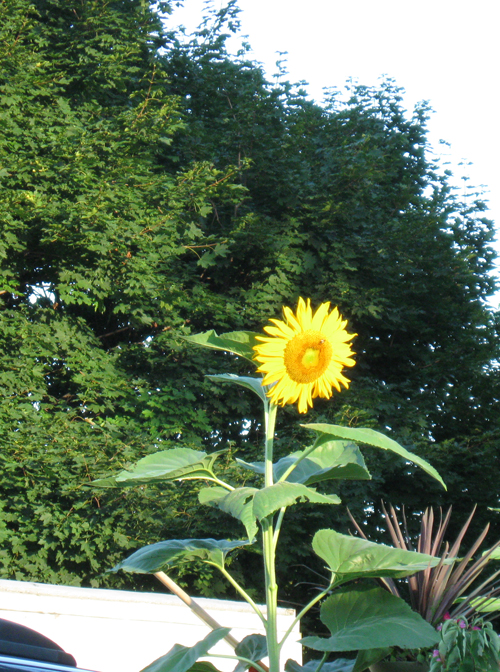 082610sunflower.jpg