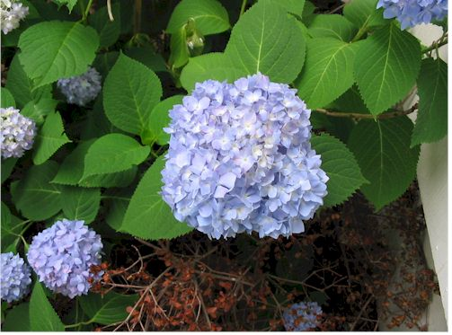hydrangea062207.jpg