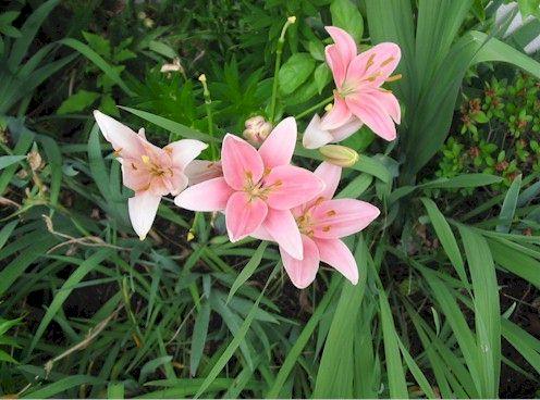 pinklily3.jpg