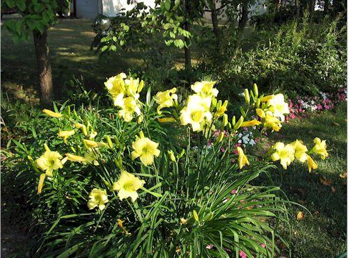 yellowlilies.jpg