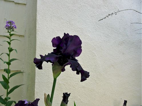 blackiris2.jpg