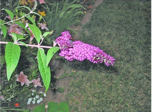 butterflybush070308.jpg