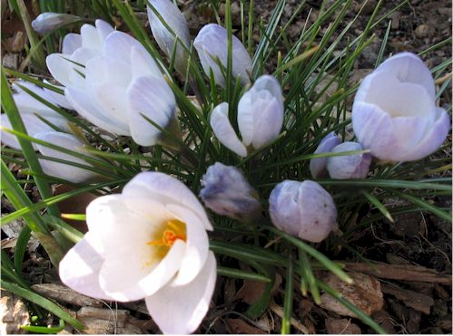 crocus2.jpg