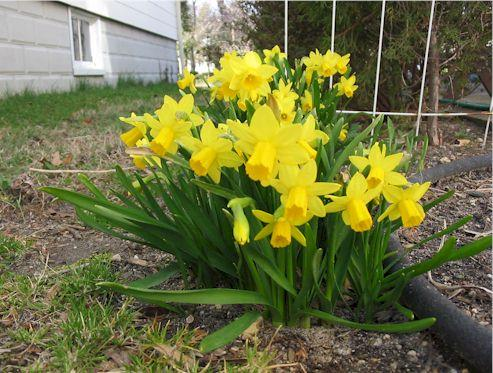 daffodills4.JPG