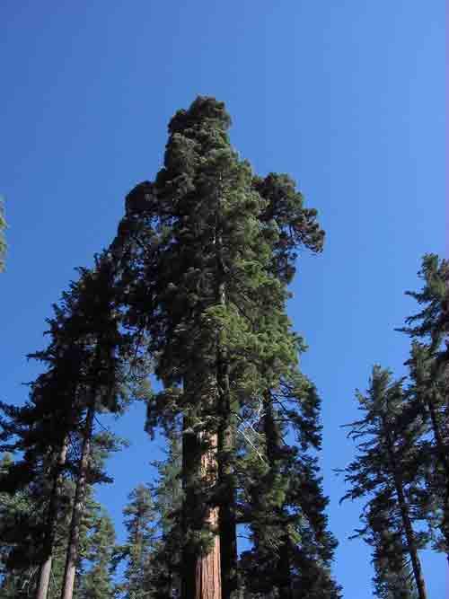 giant-sequoia1.jpg