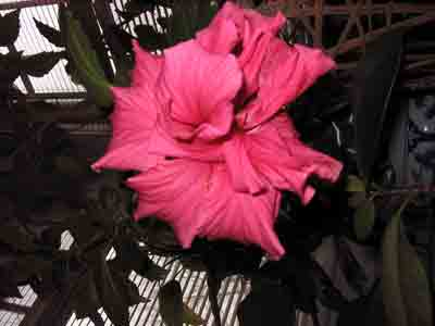 hibiscus32009.jpg