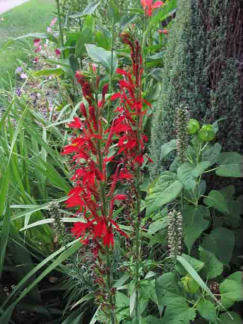 humngbirdplant.jpg
