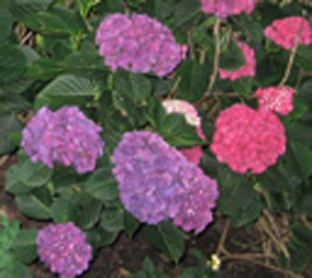 hydrangea071813.jpg