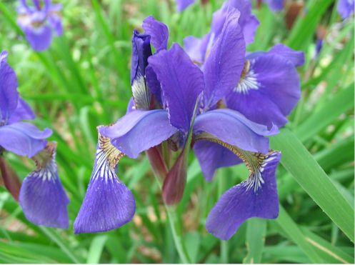 japaneseiris.jpg