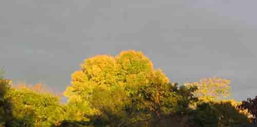 leavesofgold.jpg
