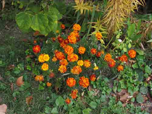 marigold103108.jpg
