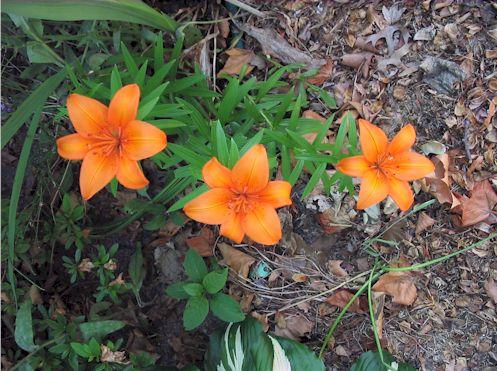 orangelily061508.jpg