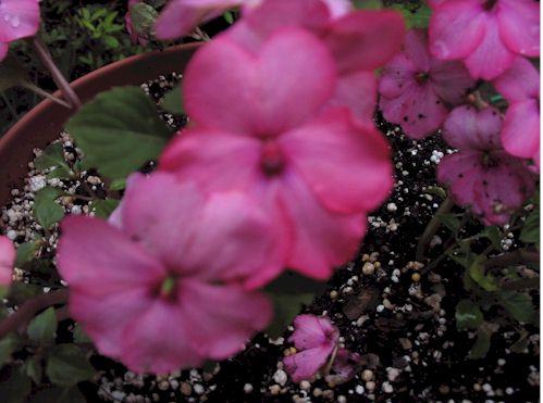 raspberryswirl1.jpg