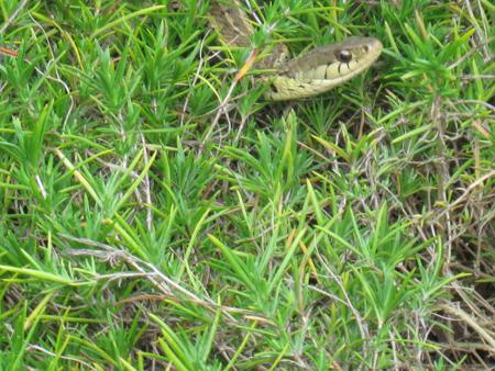 snakeingrass.jpg