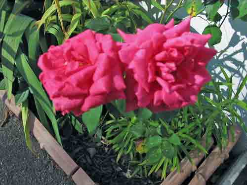 sylvia%27s-roses.jpg