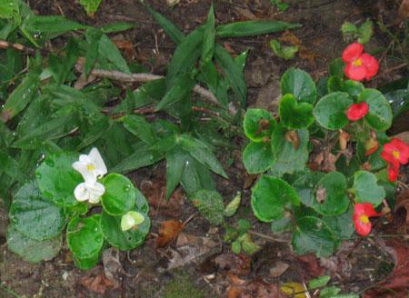 waxplant.jpg