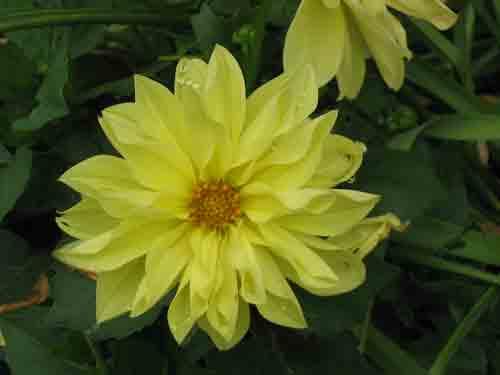 yellowdalia052805.jpg