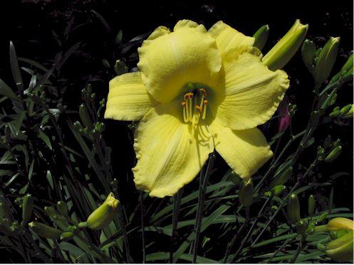 yellowlili070808.jpg