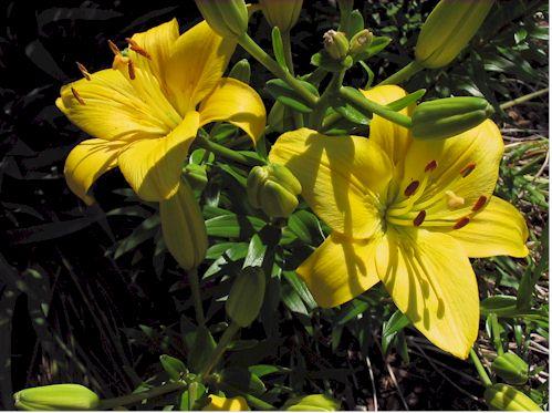 yellowlily060908.jpg