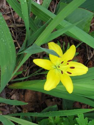 yellowlily_1.jpg