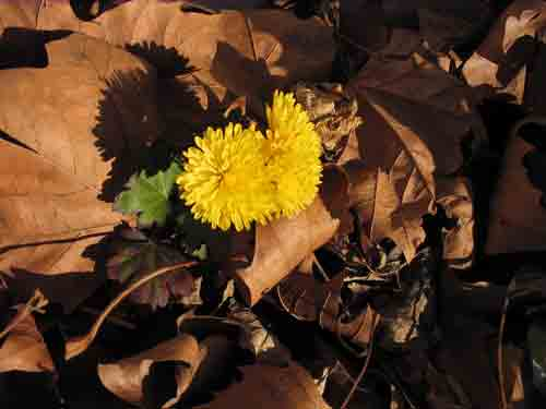 yellowmum120408.jpg