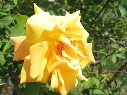 yellowrose051409.jpg